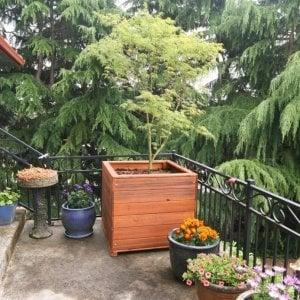 "Mendocino Planter (Options: 36"" L, 36"" W x 36"" H, Mature Redwood, 1 3/4-inch Feet, No Trellis, No Growing Vegetables, Transparent Premium Sealant). Photo Courtesy of Dave H. of Vancouver, WA."