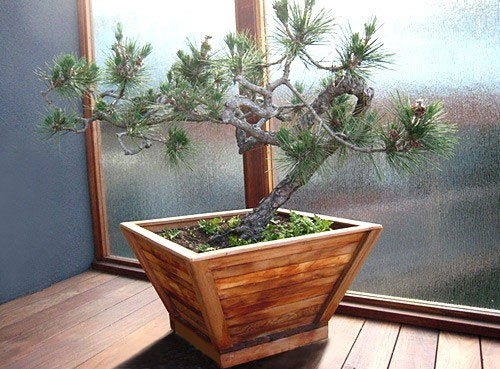 the bonsai planters built to last decades forever redwood ruscus bonsai tree in planter wayfair
